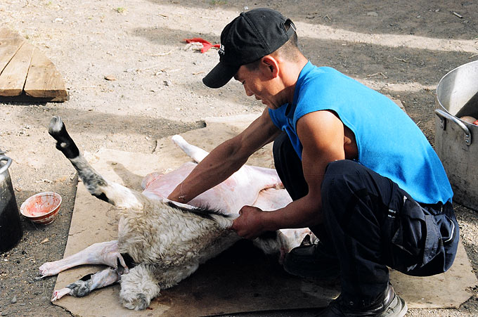A local man slaughters a sheep after two foreign tourists request meat for dinner at their ger camp in Omnogov.
