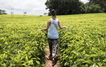 During a final outing before leaving Malawi, the group visits the Satemwa Tea Plantation in Thyolo. Tea is an important crop in Malawi, second to tobacco.