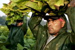 Mario Gervacio (right) and Juan Hernandez Gonzalez each carry an armful of freshly picked tobacco leaves over their heads, high enough to pile them in the trailer following them through the fields as they pick during sunrise.