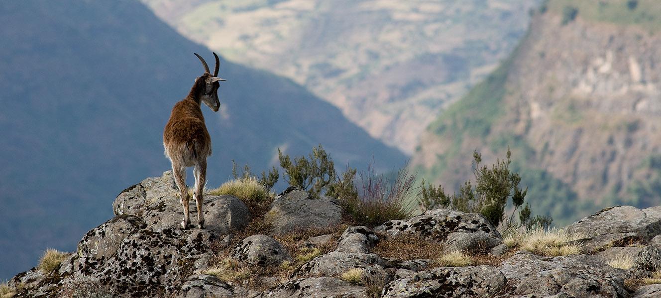 Capra Ibex WalieOn the escarpment edge at Chennek