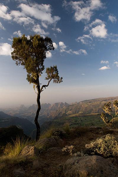 A lone gient heath - Erica Arborae - on the escarpment edge