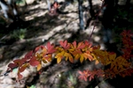 A berberis shrub showing autumn colour in the woods by the southern shore