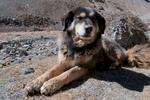 Village dog in Dolpo