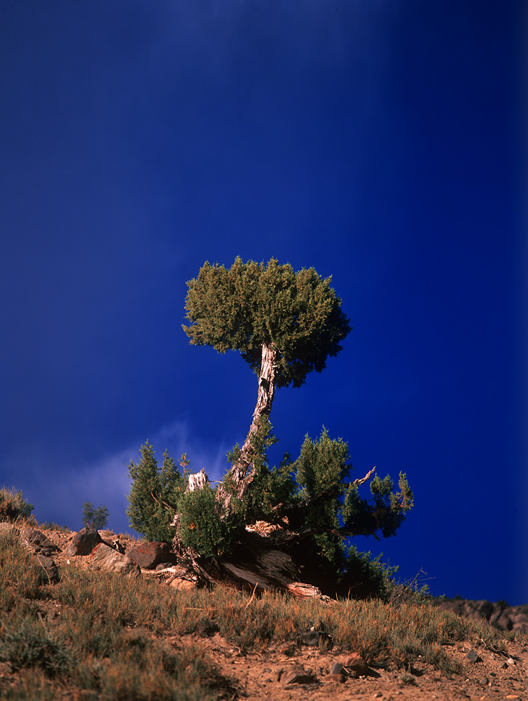 An ancient and solitary juniper at KarumbarBronica ETRSi, Fuji Velvia