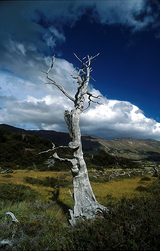 A solitary dead lenga (southern beech) tree in the valley of the Rio Lacteo, sout-east of Cerro San Lorenzo.Nikon FM2, 24mm, Fuji Velvia
