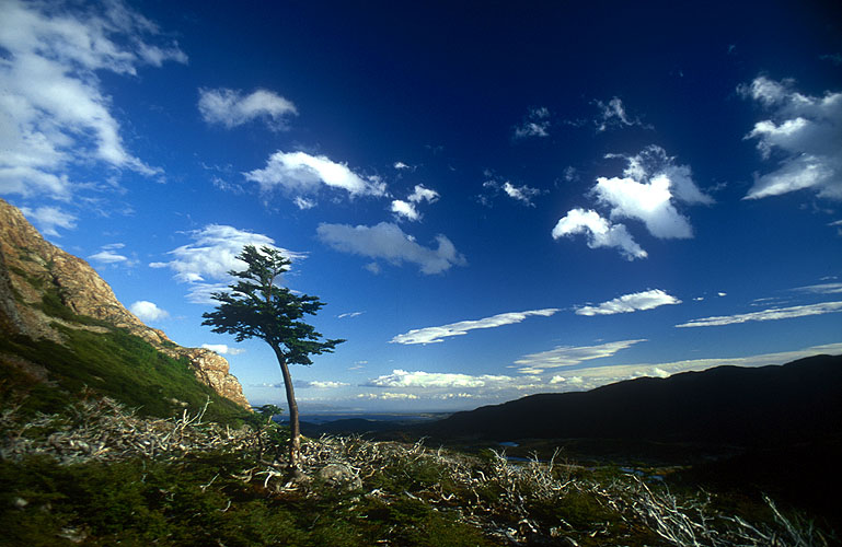 Nothofagus pumilloA solitary survivor of the beavers' rampage stands above Lago EscondidaNikon FM2, 24mm, Fuji Velvia