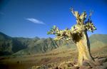 magdaz_tree