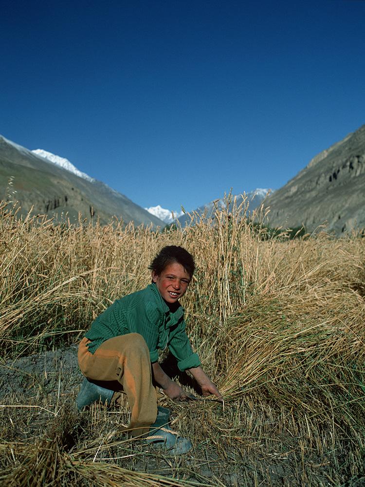 A boy cutting barley