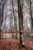 winter_beechtrees_RVP