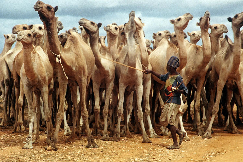 Camels_1a_PRINT