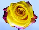 Flower_Rose_PRINT_DSC5238aaaa