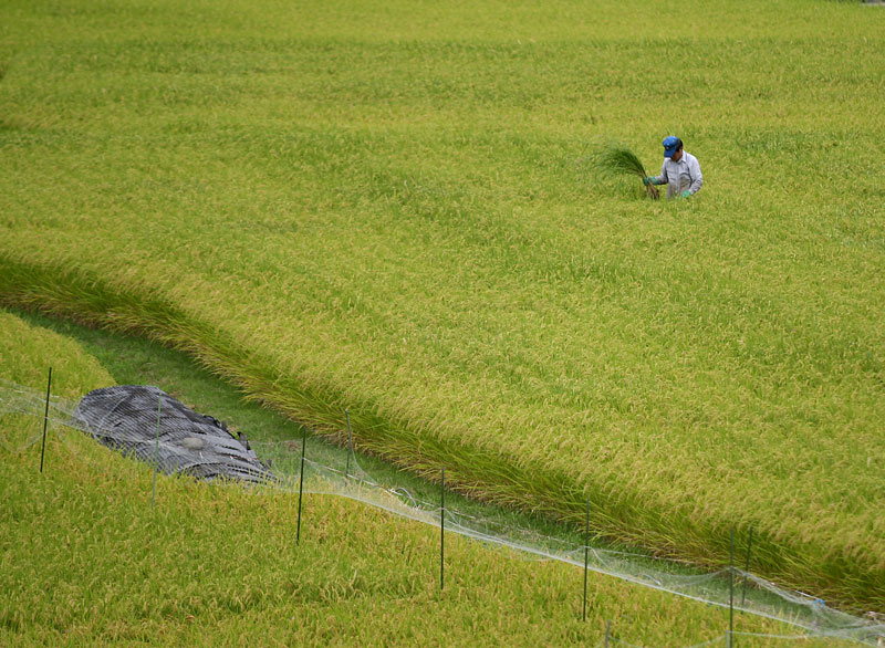 A rice farmer checks his crops. All through Japan the sight of rice farming remained constant.