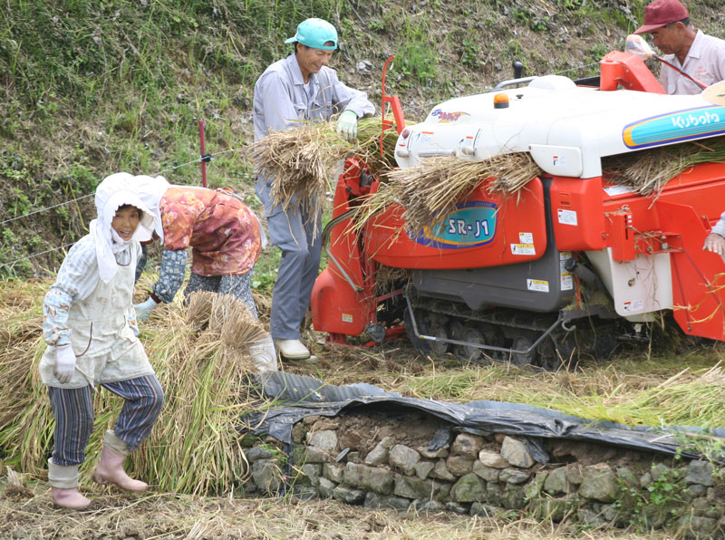 There were fields of rice from the north to the south of Japan. Harvesting the rice is a family affair as seen outside of Otachimisaki, Kyushu.