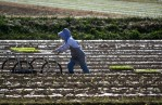 Trays of seedlings are placed in rows in preparation for planting in Kyushu.