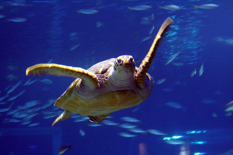 A giant Sea Turtle swims through the main tank at the Busan Aquarium on Haeundae Beach, in Busan, South Korea.