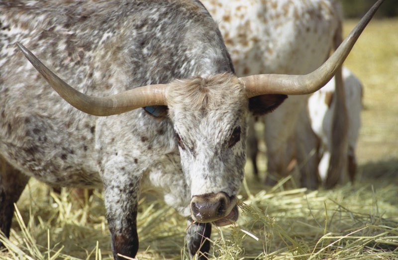 A long horn grazes in the field.