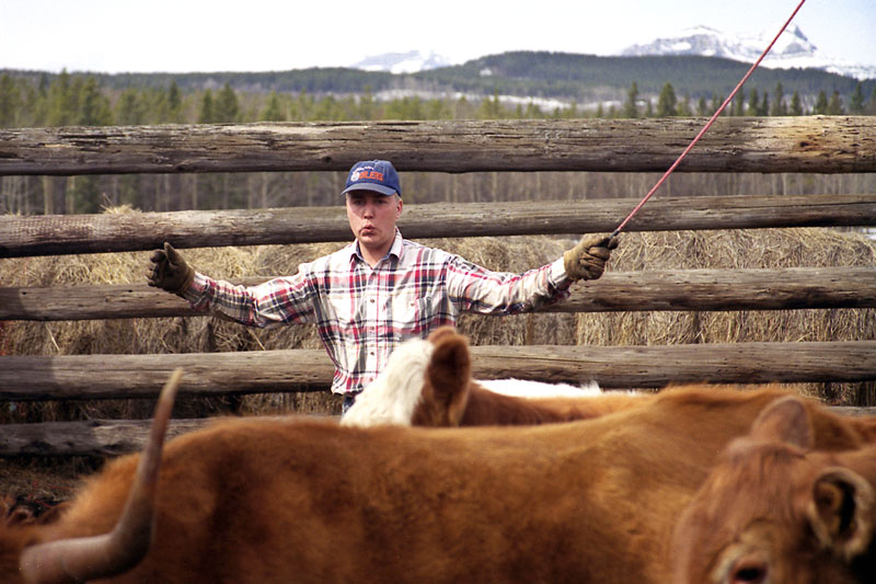 Jimmy Richards rounds up the cows for the spring branding at the Devil's Head Ranch, west of Cochrane.