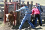 A calf gets through the chute in an attempt to de-horn her at the LJ Ranch west of Cochrane.