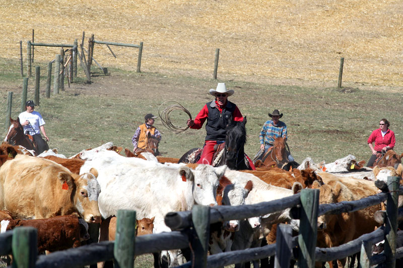 Cowboys and Cowgirls push the herd into the sorting ring.