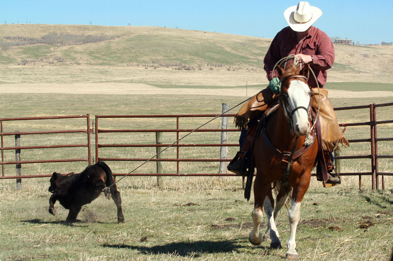 A cowboy pulls in a calf for branding.