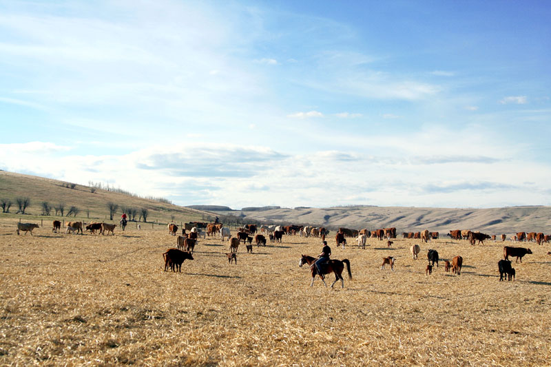 Cowboys take the herd back out to the pasture after another spring branding wraps up.