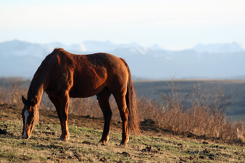 A horse grazes in the foothills of the Rocky Mountains after a day on the range.