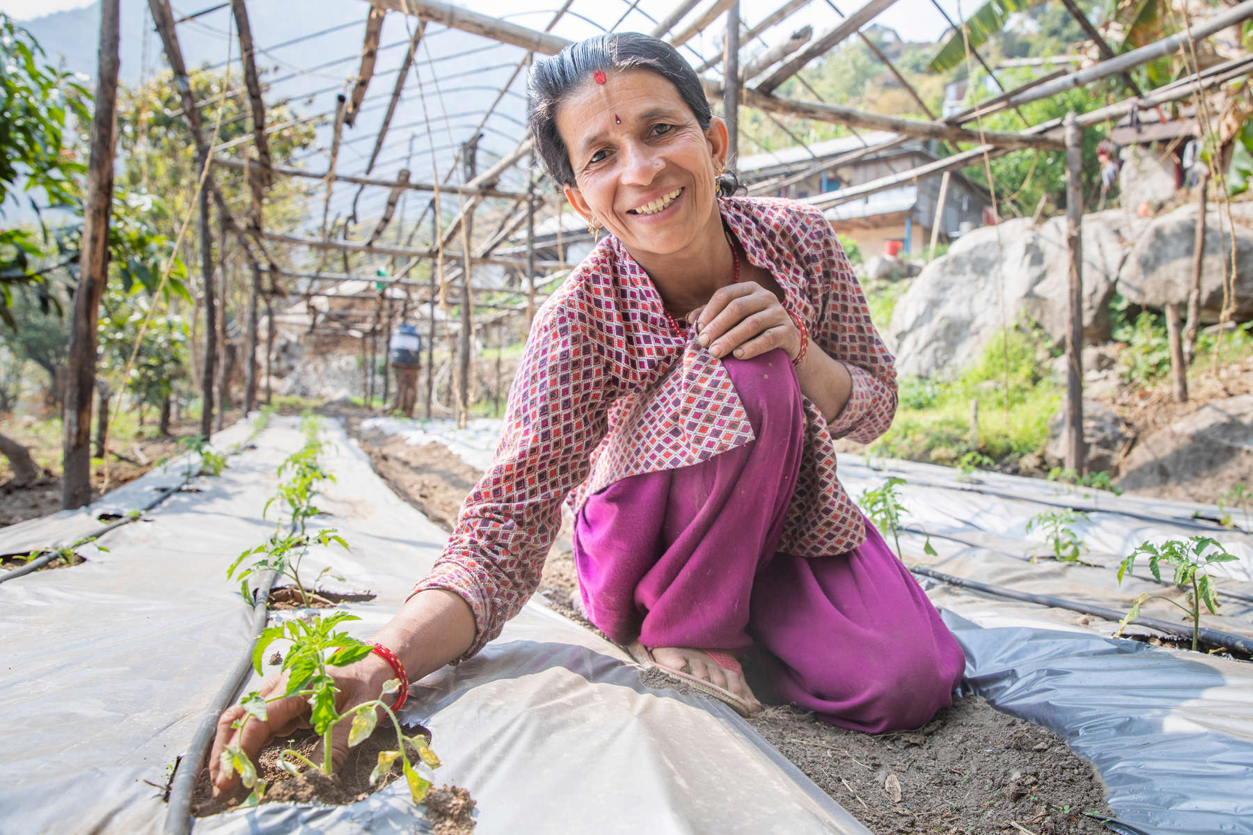 """Sabitri Phuyal weeds her family's tomato plants. She and her husband Shyam Prasad depended on their vegetable farm for food and income until the 2015 earthquakes triggered a landslide that wiped out their fields and made it unsafe for them to live in their home. They lived in a temporary shelter with four other families for nine months, and couldn't work, until Mercy Corps built a gabion wall that secured the hillside above the couple's home. After the wall was built, Shyam and Sabitri finally felt safe enough to return and begin rebuilding their lives. They took a Mercy Corps'-facilitated vegetable farming training and received plastic sheeting to build a greenhouse, and also participated in Mercy Corps' family dialogue training, which helps women and heads of household work to together to become stronger and more resilient. """"We had lost all hope of coming back. With all that happened, we don't have enough wealth to relocate somewhere else and start a new life as well. So we got encouragement to start farming here, start making our livelihood here again,"""" says Shyam. """"I feel happy when he asks me for my opinion,"""" Sabitri says. """"Before he would just do it himself, and he would work in the fields himself. And I would just think, 'OK that's his job. I'll just let him do it.' But when he asks me, I feel like, 'OK, this is my responsibility too.' I feel good about it. """""""