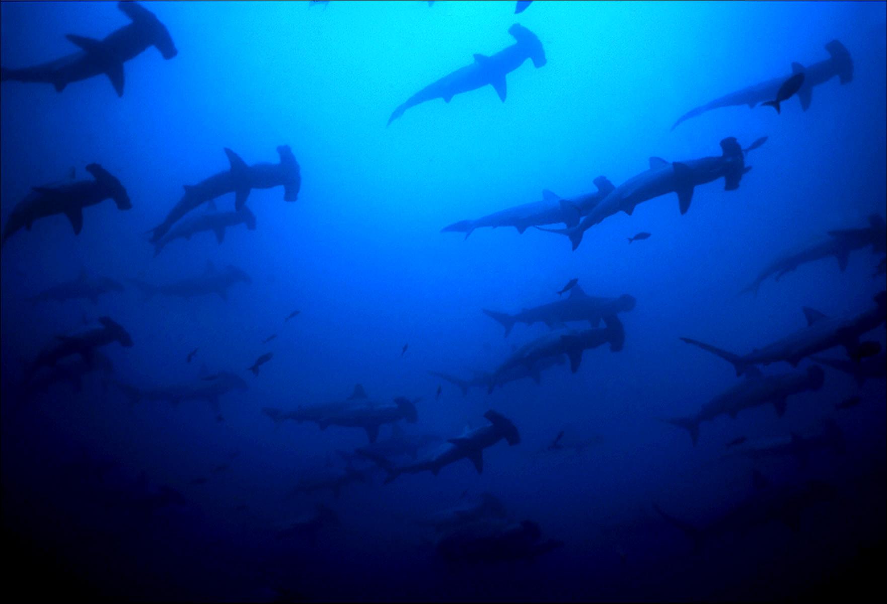 FineArt_18_Galapagos-Hammerheads_v3