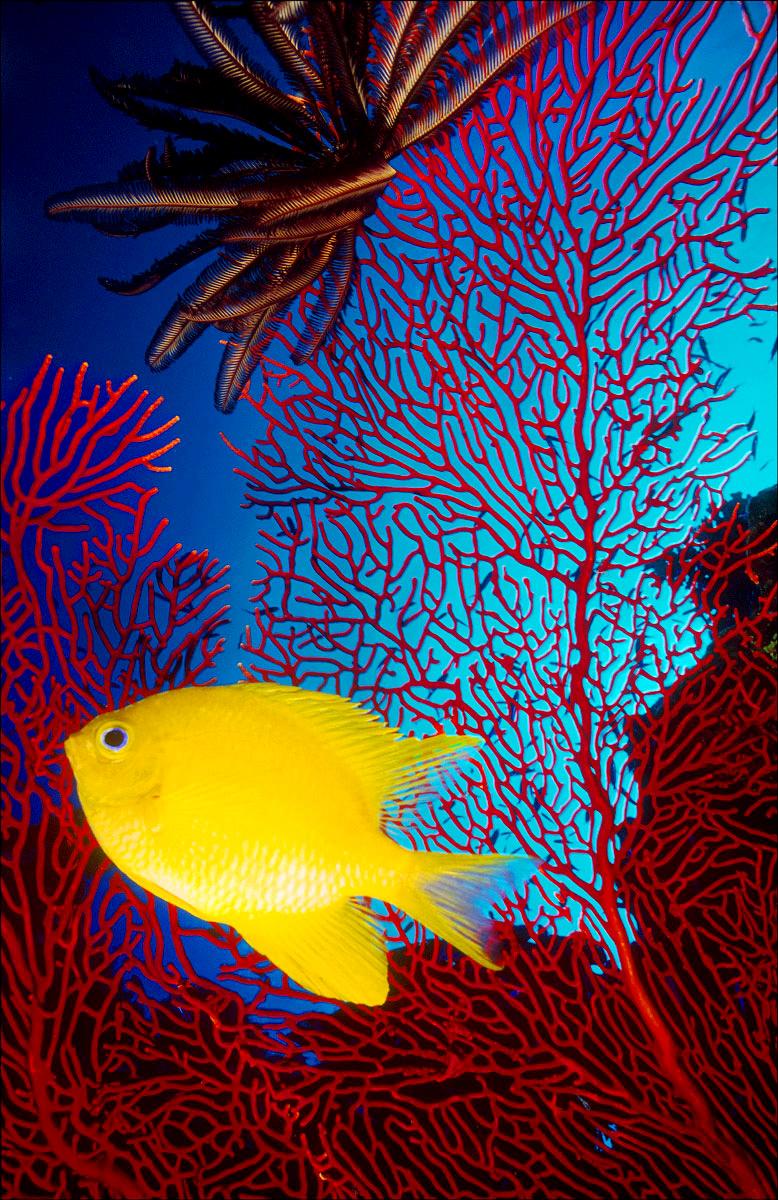 FineArt_20_Golden-Damsel_Matangi-Island_-Fiji