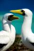 FineArt_21_Nazca-Boobies_Galapagos-Island
