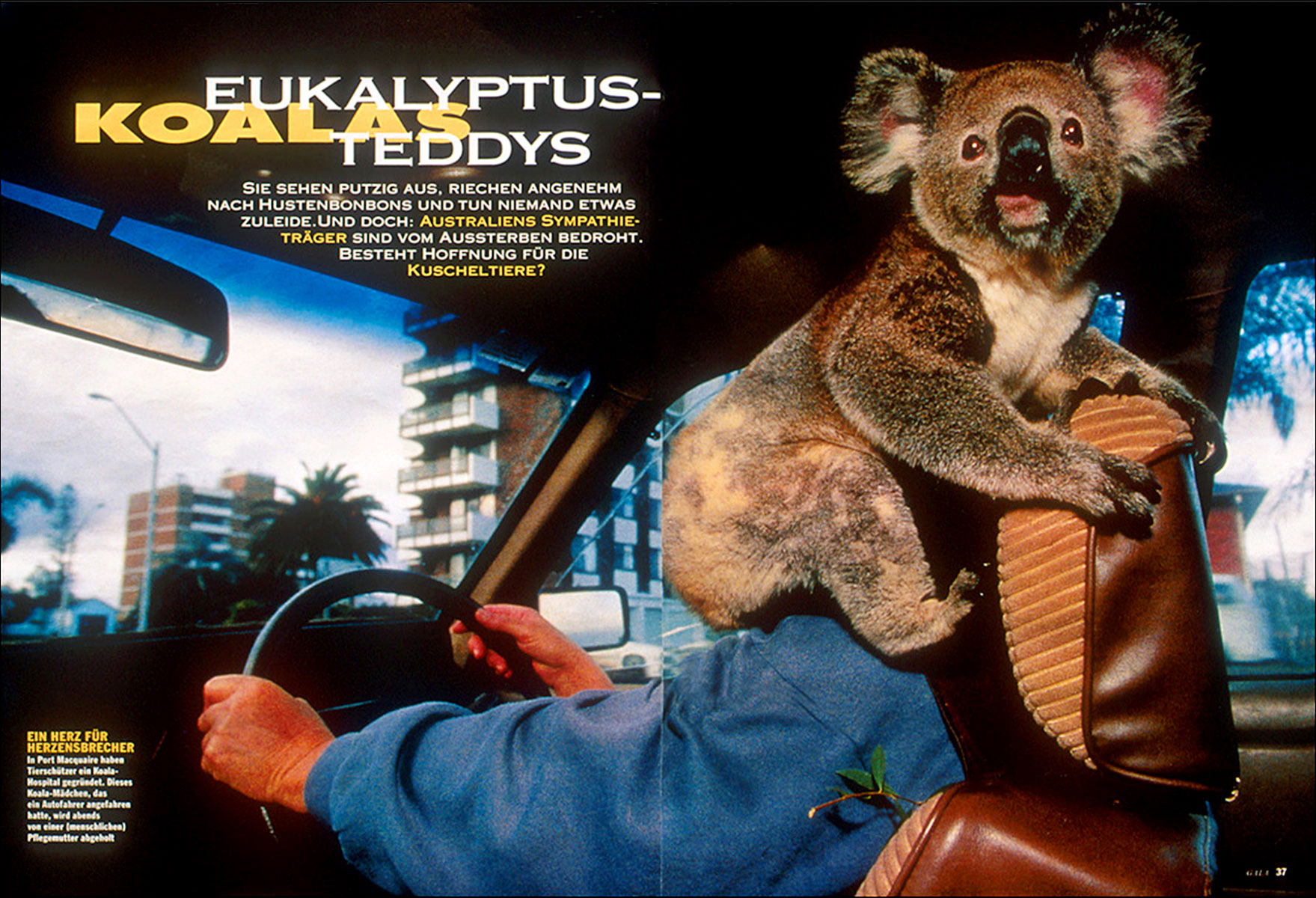 Photo of a koala being taken home for the evening by an animal caregiver in Port Macquarie, New South Wales, Australia.  Story on Koalas originally photographed for National Geographic Magazine, and subsequently published in the German magazine GEO (seen here).