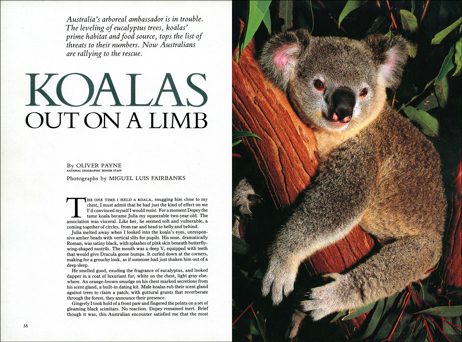 Published_Koalas_National-Geographic-Mag_02