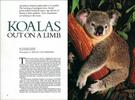 Published_Koalas_National-Geographic-Mag_02