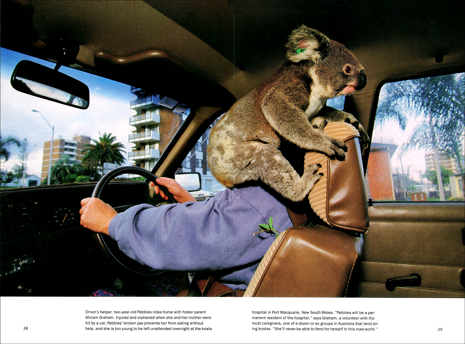 Published_Koalas_National-Geographic-Mag_03