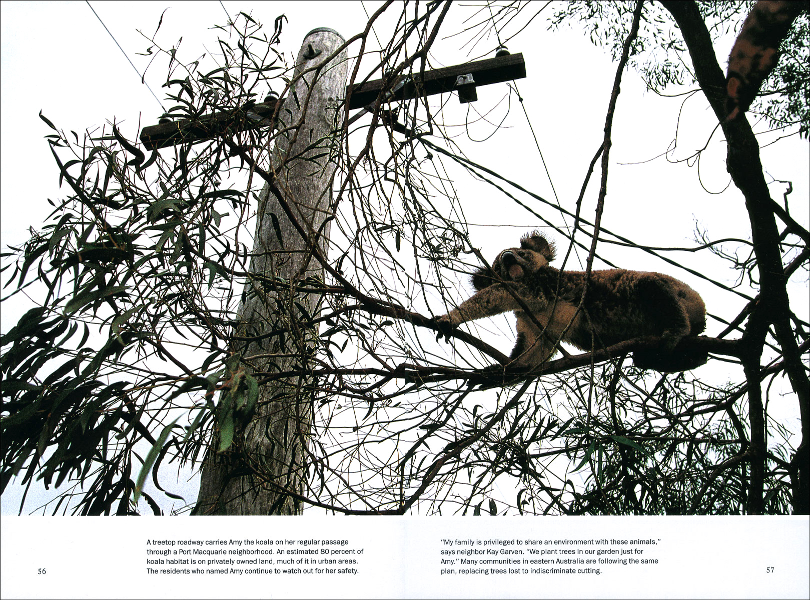 Published_Koalas_National-Geographic-Mag_10