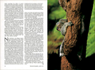 Published_Koalas_National-Geographic-Mag_11
