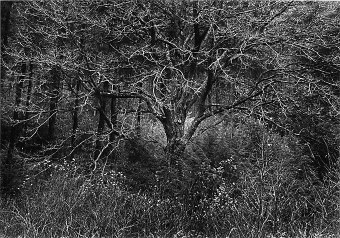 Taken with my Father's old Leica,which had an irregular shutter, which required a lot of work in the darkroom.Yes, darkroom.This tree always seemed magical