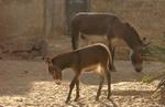 Donkeys-Lamu