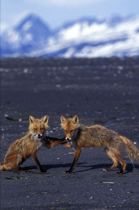 Shot on assignment for PEOPLE Magazine.Two red foxes seem to giving each other the secret handshake on a remote beach in the Katmai National Park, Alaska.