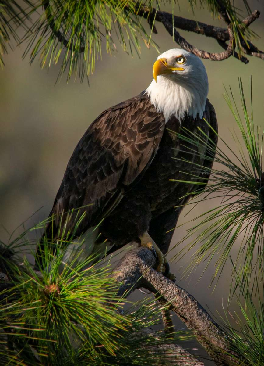 Bald Eagle, Berryessa Snow Mountain National Monumant, California