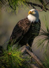 Bald Eagle, Berryessa Snow Mountain National Monumant, California