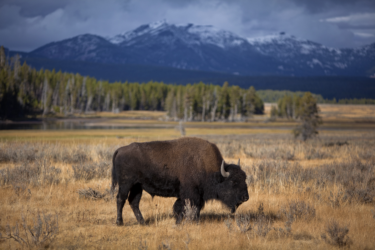 Bison, Hayden Valley, Yellowstone National Park