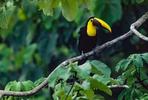 Chestnut billed toucan, Osa Peninsula, Costa Rica