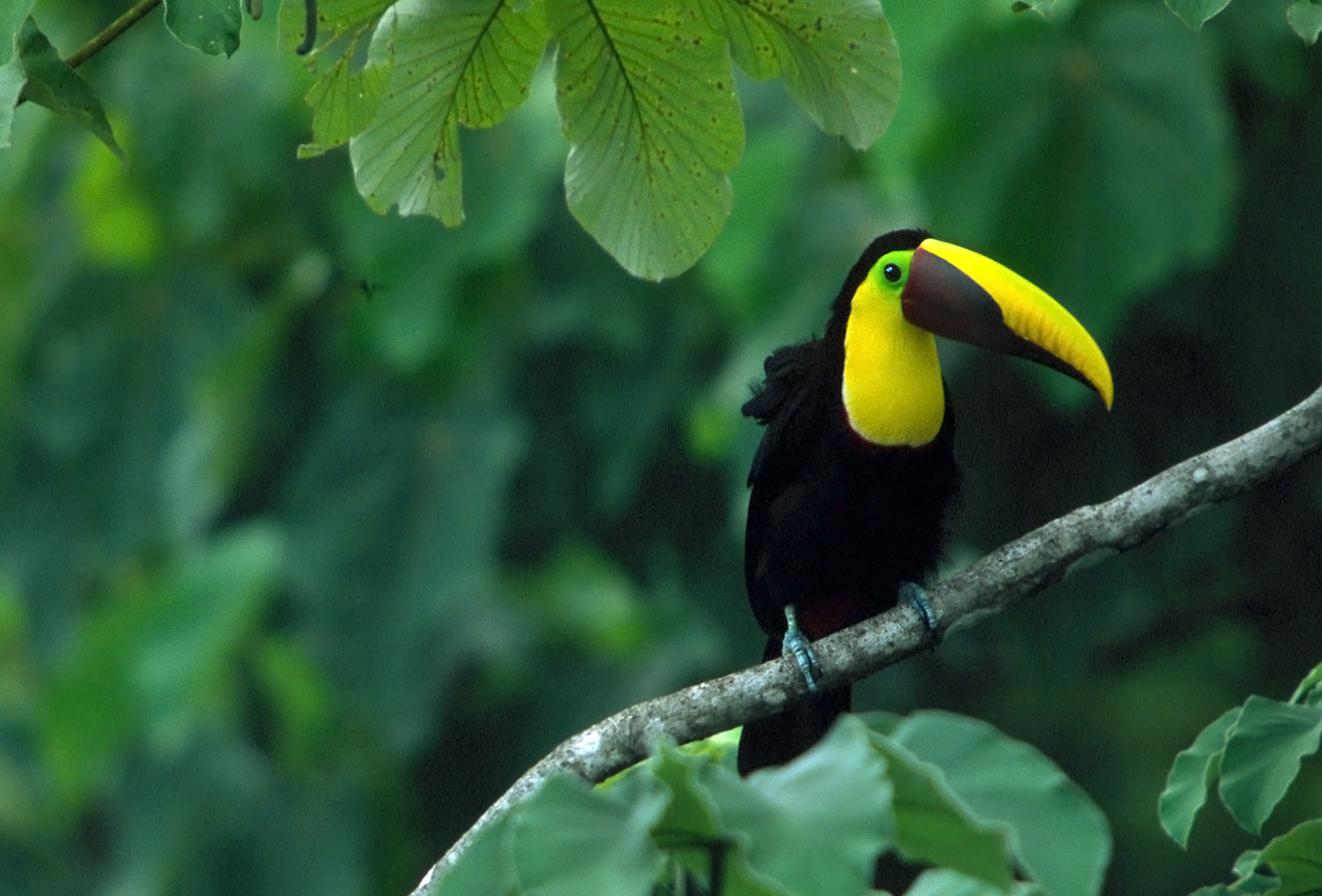 A chestnut billed toucan rests in the canopy of the Osa Peninsula, Costa Rica