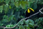 Chestnut billed toucan
