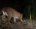 Mountain lion on the prowl. (Camera Trap)