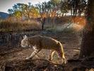 Bobcat on dawn patrol (Camera Trap)