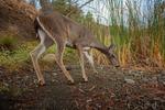 Mule deer (Camera Trap)
