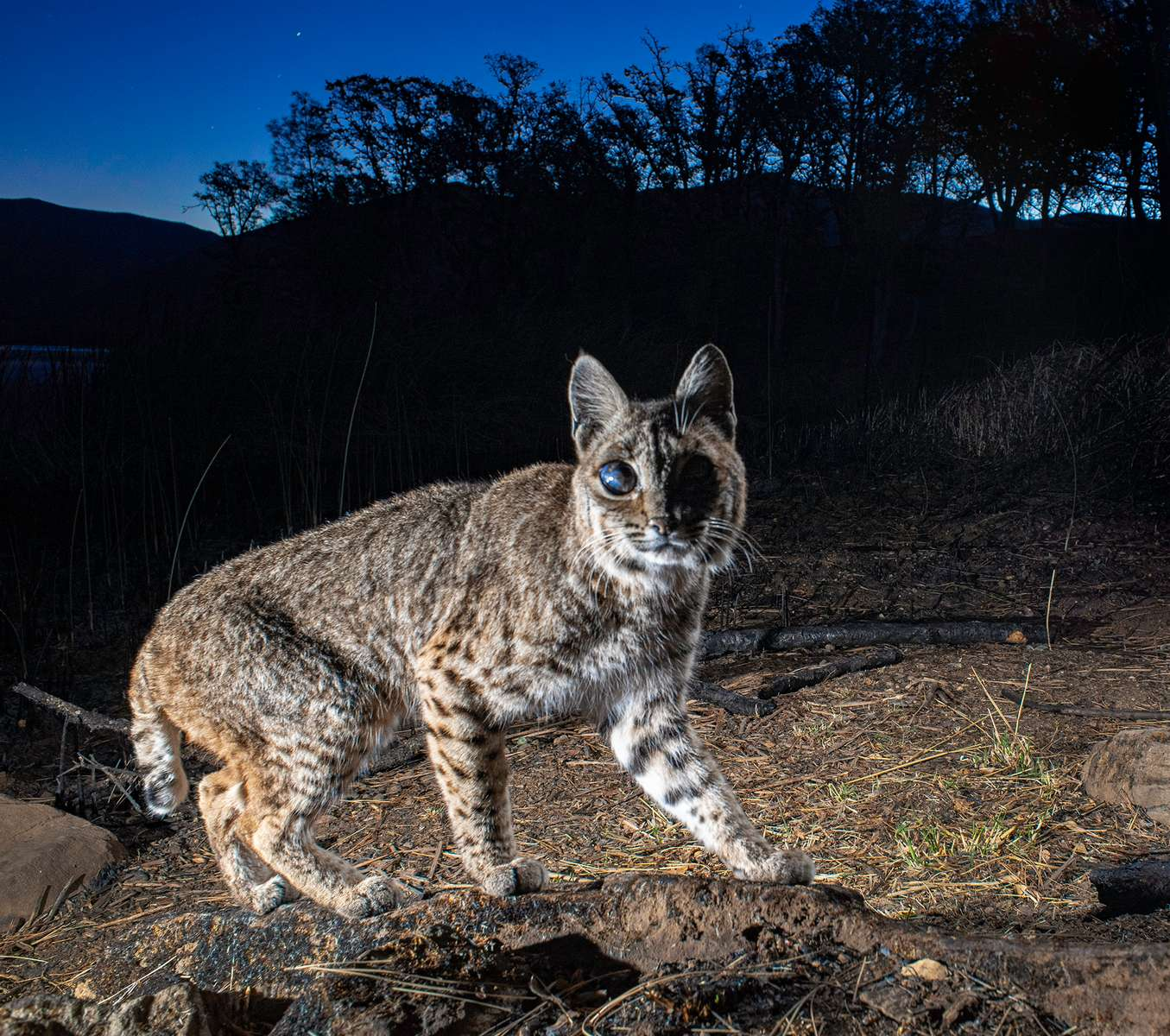 Bobcat with proptosis of the eye. (Camera Trap)