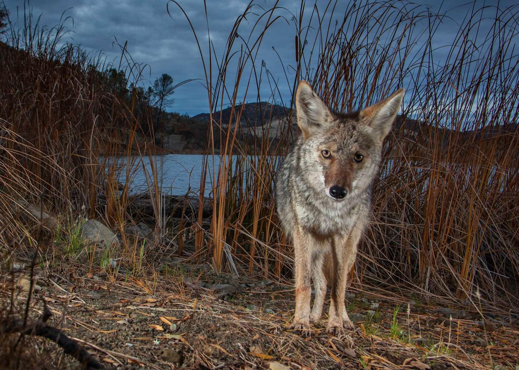 Coyote on the shore of Davis Creek Reservoir. (Camera Trap)